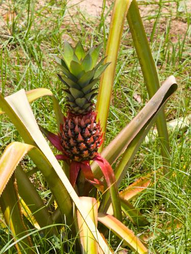 Ananás tesne pred dozretím
