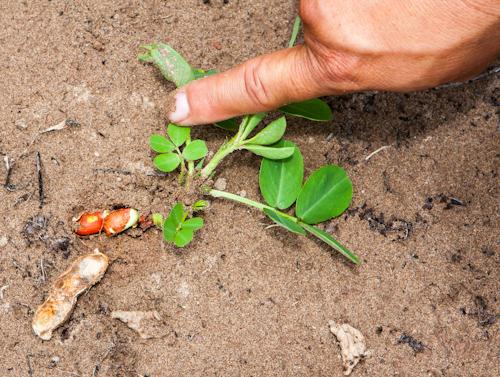 Podzemnica olejná (neformálne: arašid(a), staršie arachida; lat. Arachis hypogea)